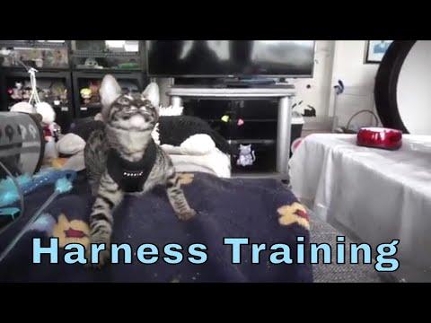 Harness Training my Savannah Anakin