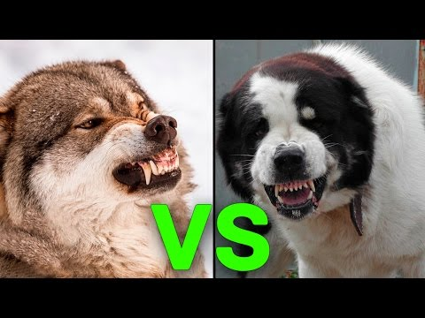 5 Hunde, Die Einen Wolf Töten Können