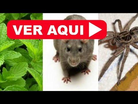 Remedio casero para sacar ratones de mi casa como eliminar ratones y cucarachas youtube - Ratones en casa eliminar ...