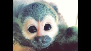 Baby Squirrel Monkey FIRST BATH!