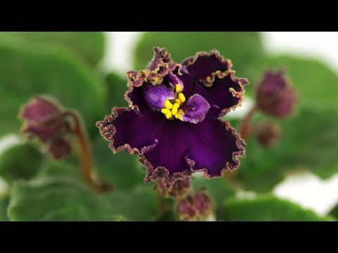 Нематантус (цветок Золотая рыбка)