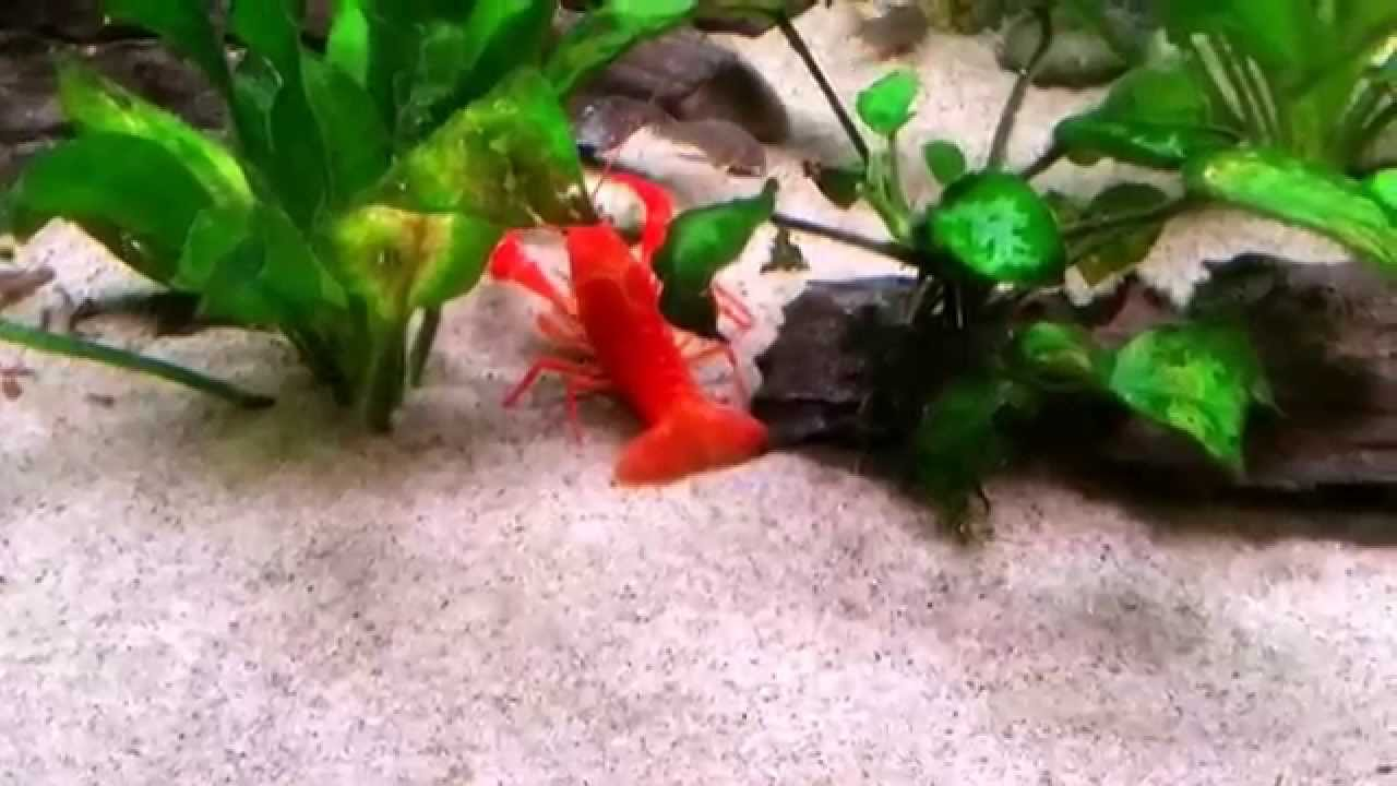 Freshwater lobster in 720 fishtank - YouTube