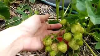 Первая ягода / Клубника сорта отзыв / Выращивание клубники