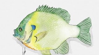 How To Draw A Perch In Under 1 Minute