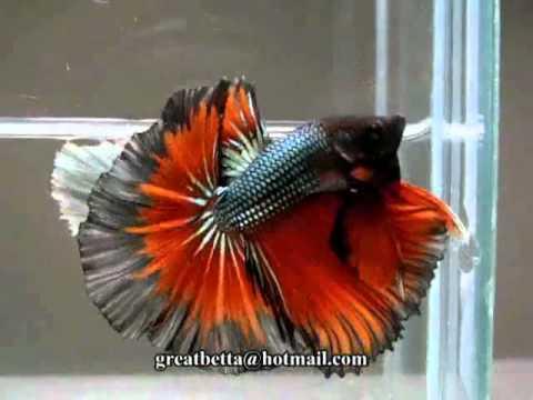 Cá Betta Đẹp - Thiên đường cá cảnh