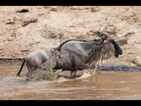 Hippos Eat Zebra Croc Feeding Frenzy Part 1 Doovi