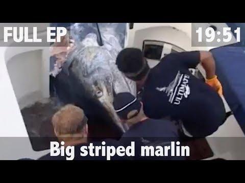 BIG STRIPED MARLIN FISHING