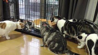 保護猫 保護して6日目 先住猫に囲まれる 【ねこ Cat】