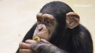 円山動物園のチンパンジーたち。 屋内清掃が終わり、展示場に戻ってくる...