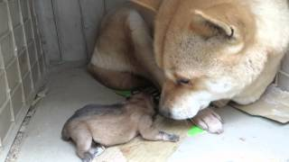 愛おしそうにわが子を見つめる山陰柴犬もみじ母さん。
