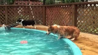 プールに落ちるコーギー thumbnail