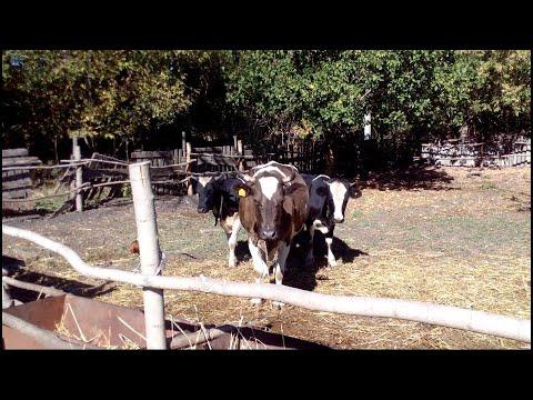 два быка на корову, а толку маловато, сколько можно их осеменять