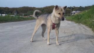 夏毛の紀州犬は冬毛に比べ二回りほど小さくなります ゴマ君の換毛はもう...