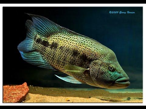 Beauty Fish Series Episode 4 Dovii Cichlid Aka Wolf Cichlid Youtube