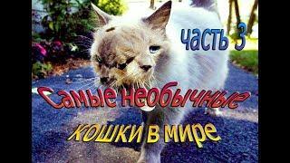 Самые необычные кошки в мире, кошки   звёзды интернета, кошки-рекордсмены, часть 3
