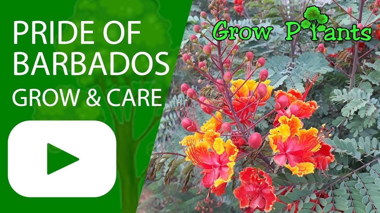 Pride Of Barbados Grow Care Caesalpinia Pulcherrima Plants