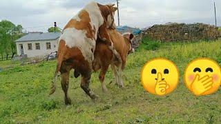 cow mating inekkoyun700sn çiftleşmesi inek boğaya geldi
