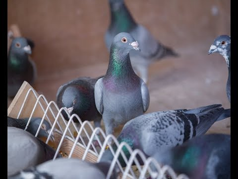 Using Widowhood Racing to Train Homing Pigeons