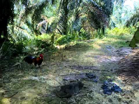 Pikat ayam hutan..Rothmans#01