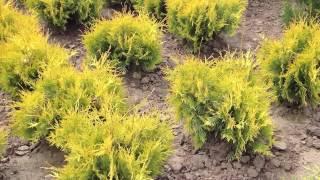 Туя западная. Thuja occ. 'Yellow Ribbon'(Добрый день! Мы занимаемся выращиванием и продажей растений для ландшафтного дизайна. В ассортименте собст..., 2014-07-02T15:19:12.000Z)