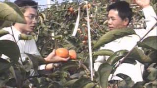 臺中區農業改良場-和平鄉特產 甜柿 台語