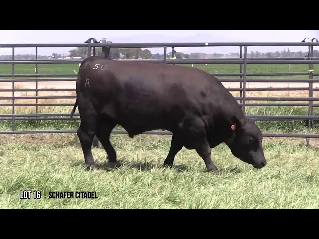 Mid Valley Bull Sale Lot 16