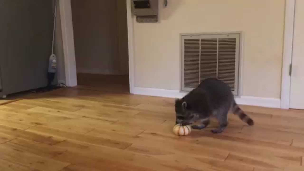 Rescued Raccoon Steals Pumpkin YouTube - Pumpkin rescued raccoon