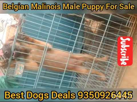 Belgian Malinois Male Puppy For Sale In Kerala Youtube