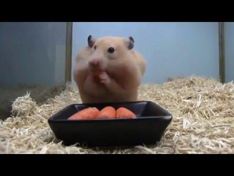 ► Un hamster qui fait de grosses provisions en carottes !
