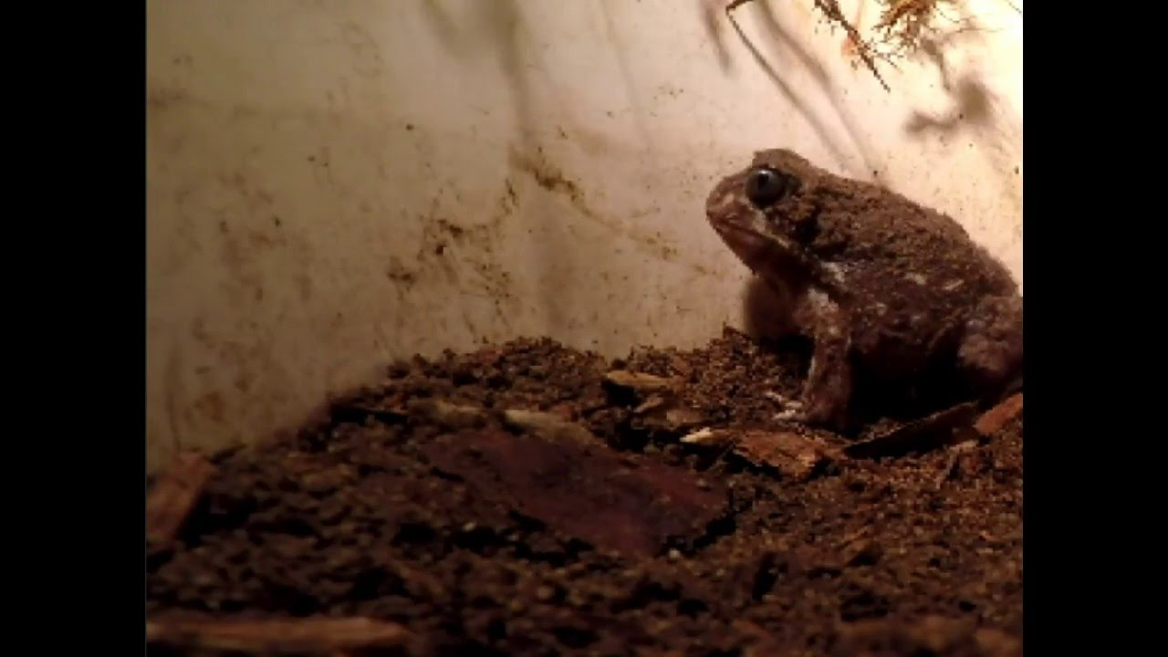 digging up a western spotted frog from its deep sandy burrow