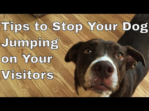 Train your Your Dog to stop Jumping On Guests