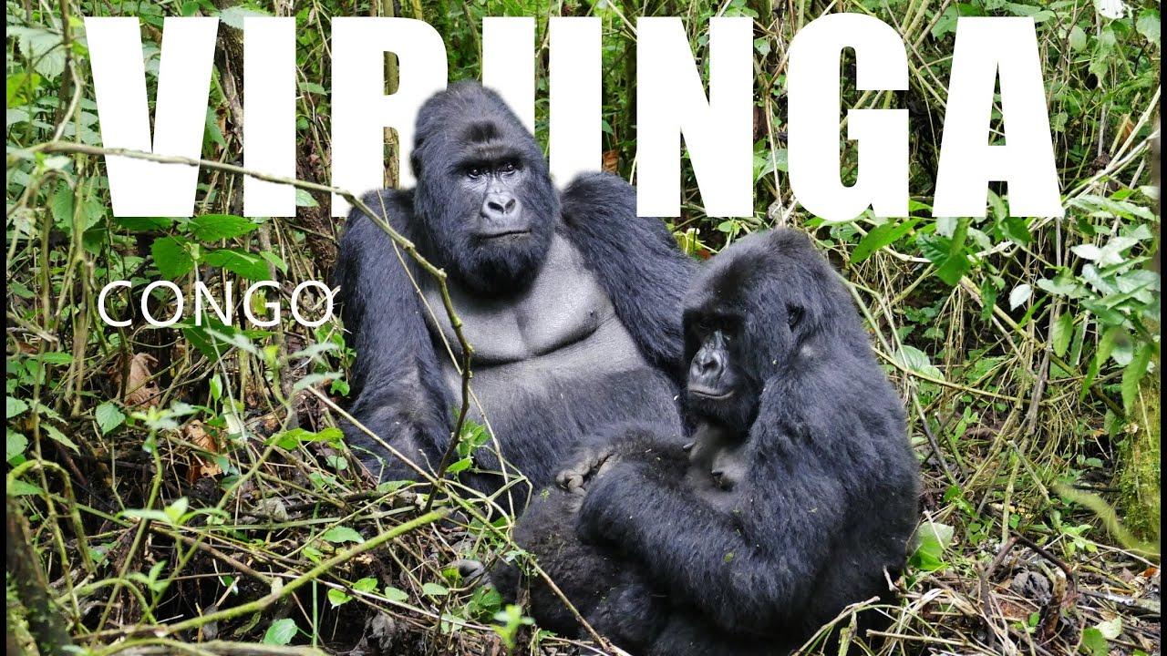 gorilles des montagnes parc national des virunga rdc youtube. Black Bedroom Furniture Sets. Home Design Ideas