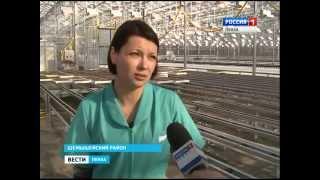 В Пензенской области начато производство салата в закрытом грунте