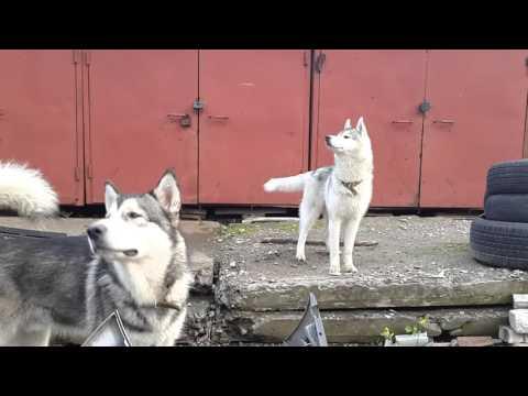 Сибирский хаски: характер породы, уход, фото, видео, цена