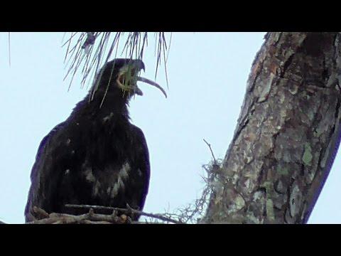 SWFL Eagles_E9 Swallows Opossum Tail Plus Fish~Sticks~Grasses By H & M 02-21-17