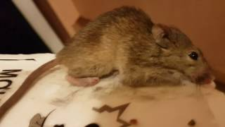 A Mouse Caught On A Glue Trap
