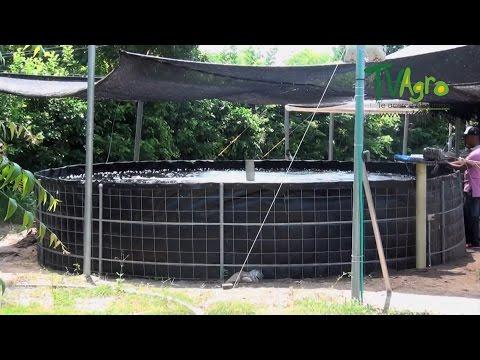 Cultivo de mojarra roja y peces de consumo sena funnydog tv for Como criar mojarra tilapia en casa