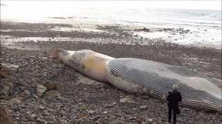PLOUHINEC (29) échouage cadavre rorqual plage de Mesperleuc