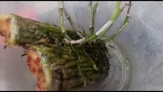 como salvar uma orquídea desidratada