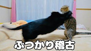 子猫が先輩猫から本気でタックルされてました