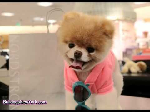 Boo The Dog Goes Shopping Youtube