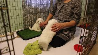 Coton de Tulear Puppies For Sale - Emma 12/31/19