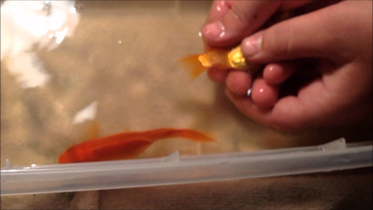 how do goldfish play