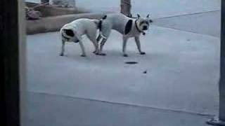 thats how my dogs made the puppies :D @PitBullSharky & Bull Terrier Shiva. 10 years ago!!