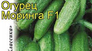 Огурец Моринга F1 (Огурец). Краткий обзор, описание характеристик, где купить семена cucumis sativus