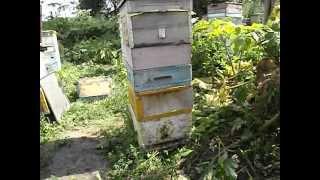 что делать, если пчелы заливают гнездо медом и матке негде откладывать яички