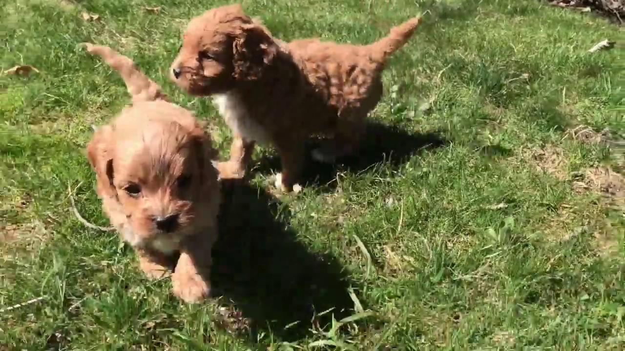 Cavapoo Male Puppies for sale in NE Ohio!