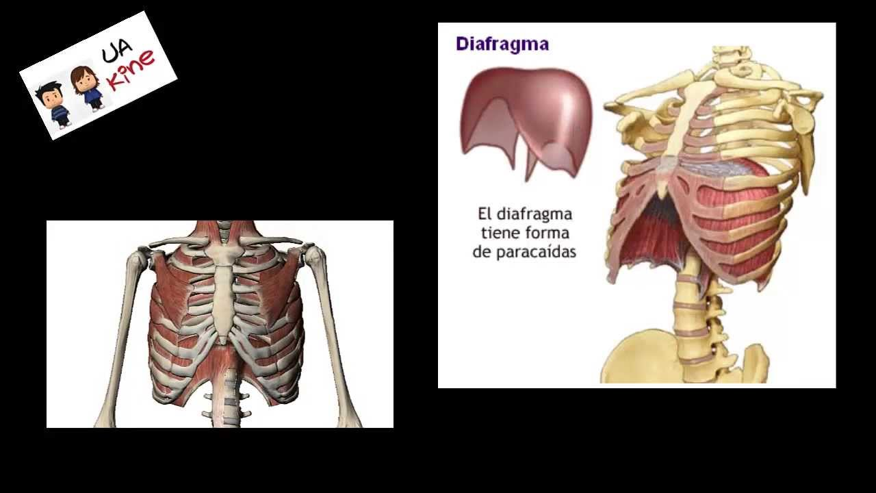 Anatomía - Músculo Diafragma - YouTube