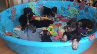 More Miniature Schnauzer Puppies For Sale In Central Pa