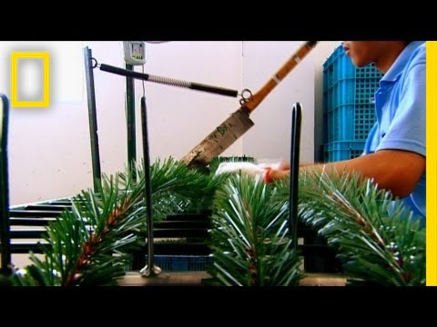 How Christmas Trees Are Made | I Didn't Know That